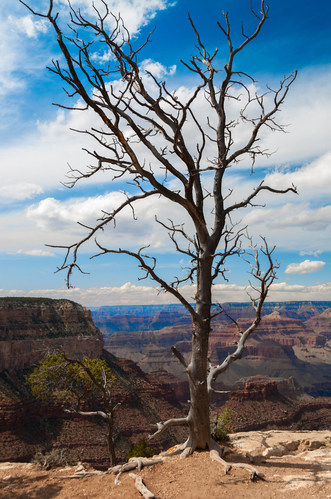 Tree - Grand Canyon South